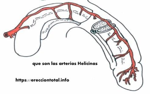 para que sirven las arterias helicinas